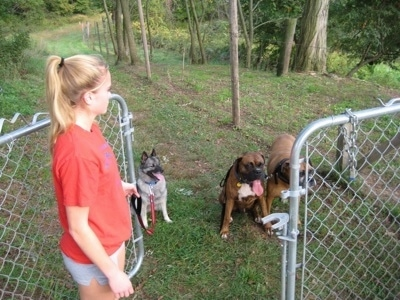 Three Dogs are sitting behind a fence and a blonde-haired girl is opening a gate in front of them.