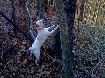 A white with tan Mountain Feist dog is in the woods jumped up and barking up a tree.