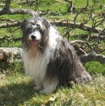 Bonnie the Bearded Collie sitting in front of fallen tree limbs with its mouth open