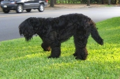 Left Profile - Boris the Black Russian Terrier walking on grass with its front right paw in the air