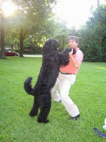 Boris the Black Russian Terrier with his front paws in the hands of its owner as he jumps up to the humans chest
