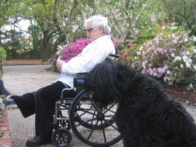 Boris the Black Russian Terrier with his tongue out and his mouth open sitting next to a person reading in a wheelchair