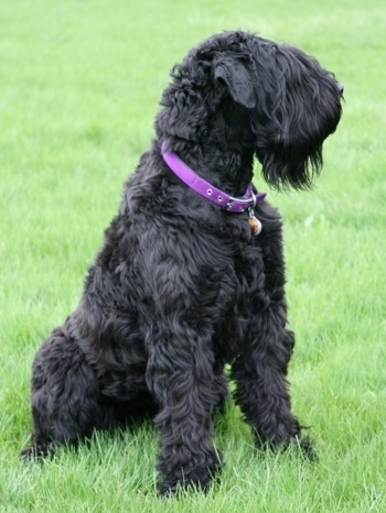 Tasha the Black Russian Terrier sitting in a field of green grass with its head turned to the left wearing a purple collar
