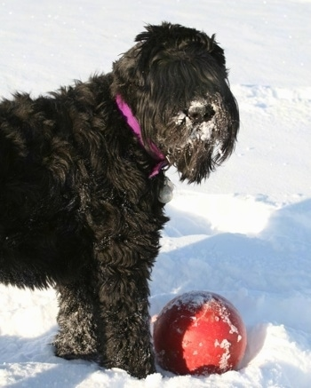 Close Up - Tasha the Black Russian Terrier standing in snow with snow in her face and a red ball toy in front of her