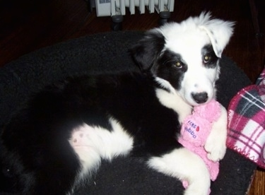Close Up - Kaiya the Border Collie puppy laying in a dog bed with a plush toy
