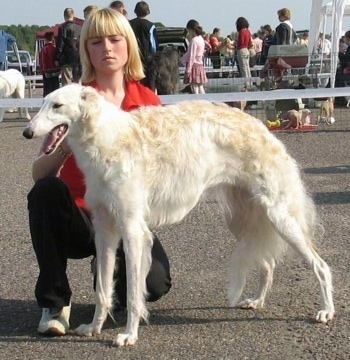 BEZCENNAJA greitoji strele the Borzoi being posed by a girl at a dog event