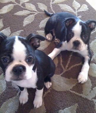 Oliver and Clementine the Boston Terriers sitting and laying on a living room rug