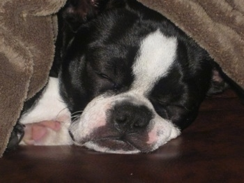 Close Up head shot - Sheeba the Boston Terrier taking a nap under a brown blanket