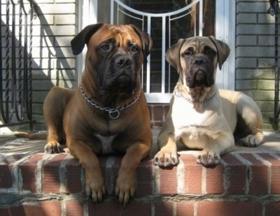 Izzy the Bullmastiff and Sonny the Bullmastiff puppy laying at the top of outside brick stairs in front of the front door to a house