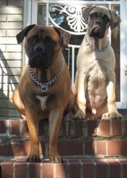 Izzy the Bullmastiff climbing down the brick stairs and Sonny the Bullmastiff puppy sitting at the top of the stairs in front of the house's screen door