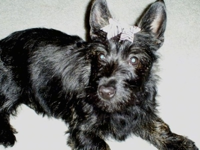 Clover the shiny-coated, black Bushland Terrier puppy with a white ribbon in its hair laying on a carpet. The dog has a black nose and wide round dark eyes with perk ears.