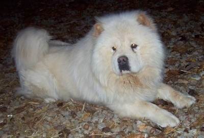 Dozer the cream Chow Chow is laying outside on a ton of rocks. He has a huge head and small eyes.
