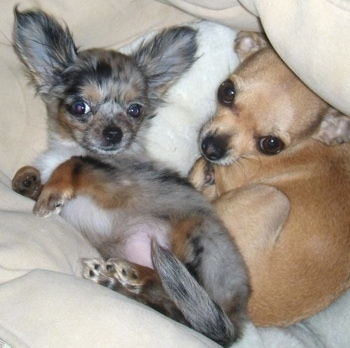 Stoli and Roxi the Chihuahua Puppies are laying in a dog bed with a blanket surrounding them next to each other