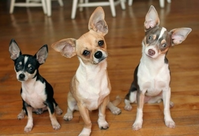 Maxwell, Milo and Matilda the Chihuahuas are sitting in a row on a harwood floor next to each other. Milos head is tilted to the left and Matildas head is tilted to the right