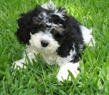 Sedona the tricolor Cockapoo as a Puppy. Sedona is laying outside in a yard. The grass is tall around her.