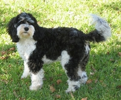 Sedona the tricolor black, white and gray Cockapoo is standing outside in a lawn with leaves in it