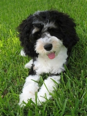 Sedona the tricolor black, white and gray Cockapoo as a Puppy. Sedona is laying outside in a field. Her mouth is open and tongue is out