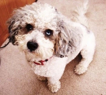 Bubba the curly white with gray eared Cockapoo is sitting on a tan carpet next to a wooden dresser