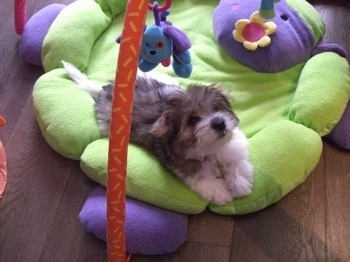 Anya a tri-colour Coton de Tulear puppy is laying on a green flower stuffed baby mat under a baby mobile