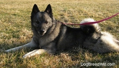 Tia the Norwegian Elkhound laying on grass while wearing a leash