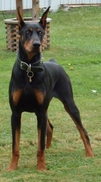 Romeo the Doberman Pinscher standing in a yard with a fake well behind him