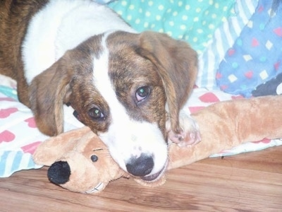 Close Up - Bindy the brown brindle and white Drever as a young puppy laying on a blanket on a hardwood floor and her head is over top of a weasel plush toy
