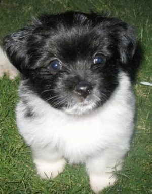 Close Up - Obi the black and white Ewokian puppy is sitting outside in a grassy yard and looking up