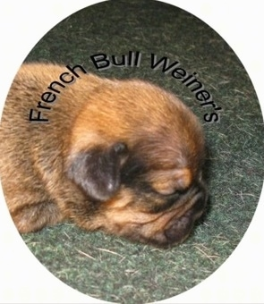 A tan with black French Bull Weiner puppy is sleeping on a rug. The Words - French Bull Weiner's - are overlayed