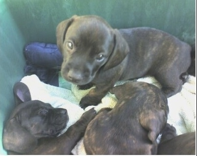 A litter of brown brindle puppies are sitting and laying down on a bunch of towels inside of a green container. One is looking up and another is sleeping.