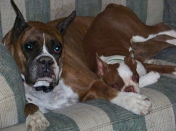 A brown with white and black Boxer is laying on a green and white plaid couch next to a brown with white Boston Terrier