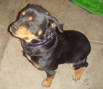 Top down view of a black with tan Rottweiler wearing a prong collar sitting on a concrete surface. It is looking up and to the left.