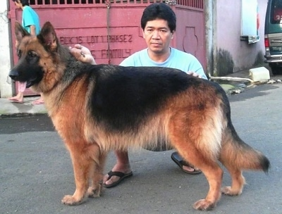 A black and tan German Shepherd is being posed by a person kneeling behind it