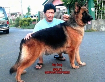 A black and tan German Shepherd is posed in a street by a person kneeling behind it. The words - My Dog WOLFY GERMAN SHEPHERD - are overlayed
