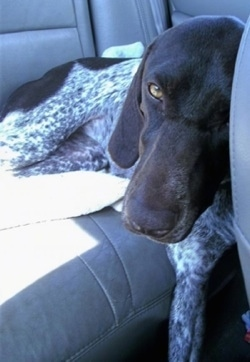 A white with brown German Shorthaired Pointer is laying on tha back of a vehicle. Its head is against the back of a driver seat