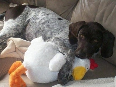 A white with brown German Shorthaired Pointer puppy is laying on a couch with its paws over a chicken.