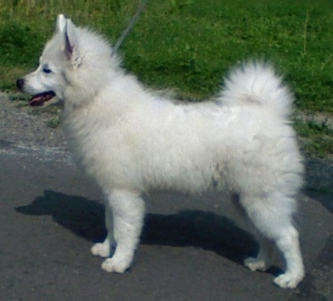 Left Profile - A fluffy white Giant German Spitz puppy is standing outside in a street