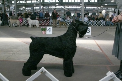 A black Giant Schnauzer is posing at a dog show. There is a person holding its leash in front of it. In the background is a crowd of dogs and an audience.