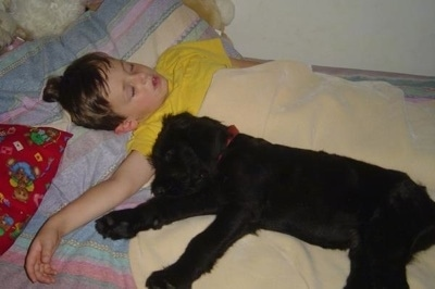 A black Giant Schnauzer puppy is sleeping under the arm of a sleeping boy in a bed
