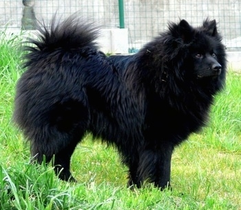 A fluffy black Giant German Spitz is standing outside in tall grass.