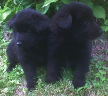 Two fluffy black Giant German Spitz puppies are sitting next to each other in front of a bush. The one on the right is looking to the right. The puppy on the left is looking down and to the left