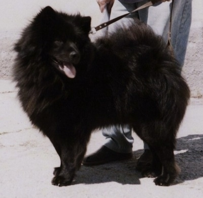 A fluffy black Giant German Spitz dog is standing in front of a person who has its leash. The German Spitz mouth is open and tongue is out