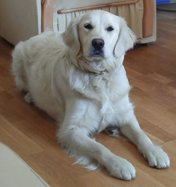 A cream-colored Golden Retriever is laying on a hardwood floor with an arm chair behind it