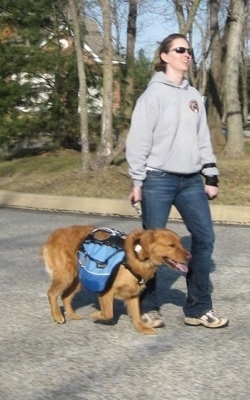 A lady in a grey Amkor Karate sweatshirt is walking a Golden Retriever down a street. The Golden Retriever is wearing a vest and it is panting