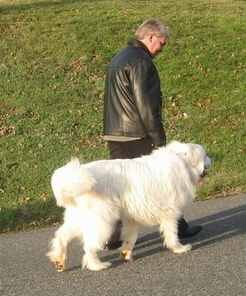 A person in a black leather jacket is walking alongside a Great Pyrenees on a black top surface