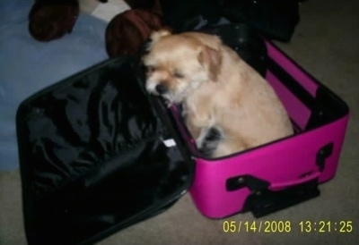 A tan Griffonese dog is sitting in a pink suitcase with its head leaning on the open flap end.