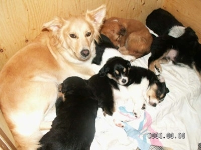 A tan Himalayan Sheepdog mix is laying in a whelping box with her litter of puppies.