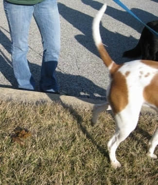 A brown and white Beagle mix is walking away from its 'droppings'