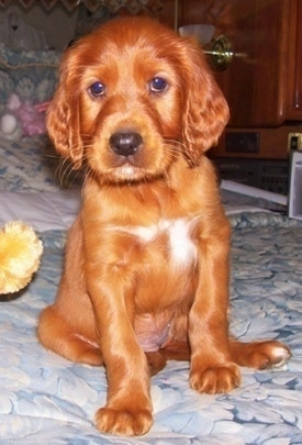 A red with white Irish Setter puppy is sitting on a human's bed and looking forward with a plush toy next to it.