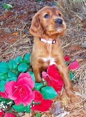A red with white Irish Setter puppy wearing a pink collar is sitting outside on top of red flowers.