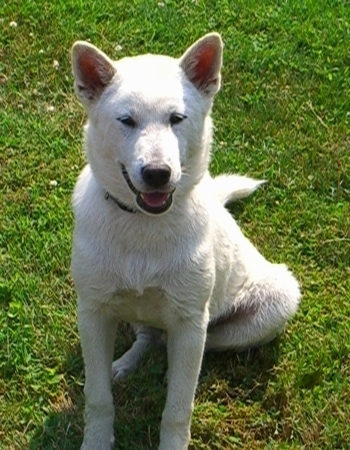 A smiling white Kishu Ken puppy is laying in grass, its mouth is open